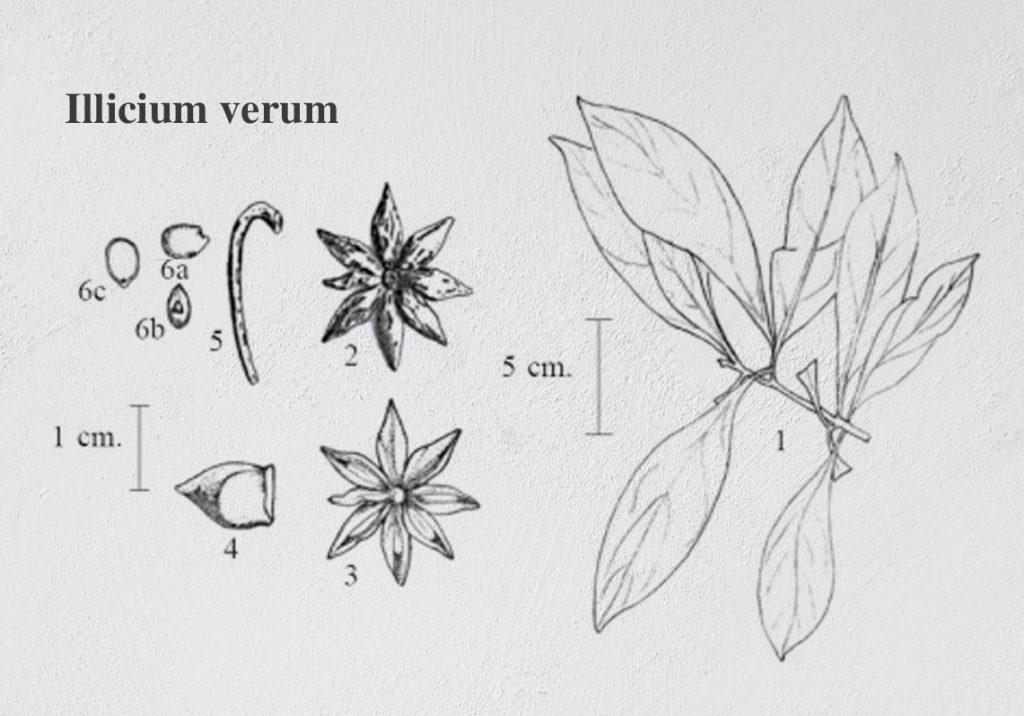 quả đại hồi thuộc loại quả gì - Illicium verum
