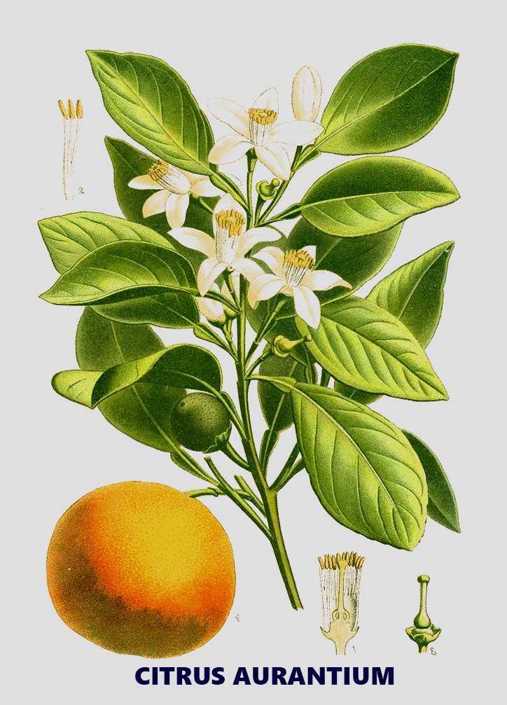 Citrus aurantium là gì