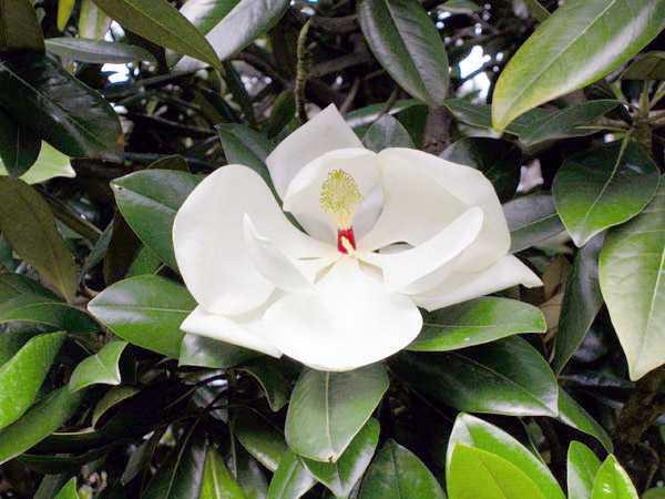 Magnolia là gì