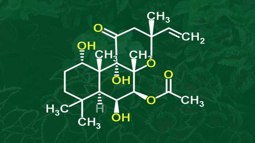 Cấu trúc hóa học của forskolin trong cây Coleus