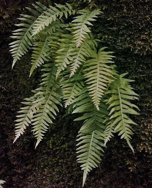 Polypodium leucotomos là gì