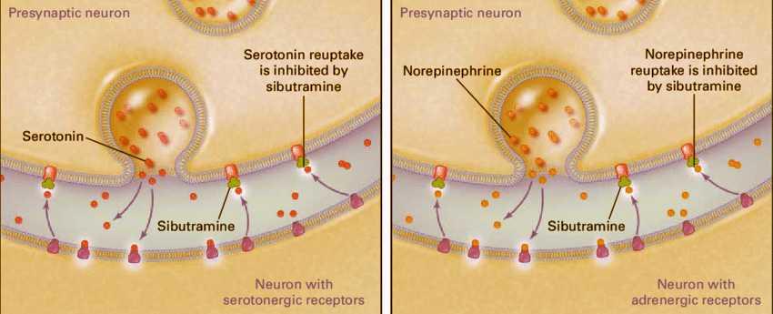 Sibutramine làm tăng lượng serotonin và norepinephrine. Ức chế hệ thần kinh trung ương