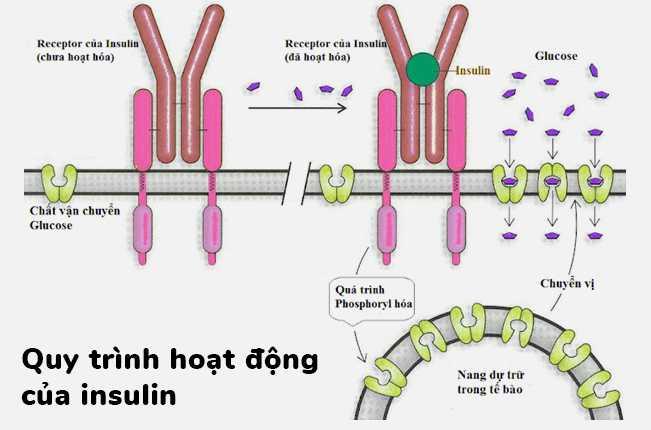 Công thức giảm cân theo cơ chế kiểm soát Insulin